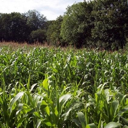 MAS 09P Forage Maize Seed (50,000 Seeds) (9 Maturity)