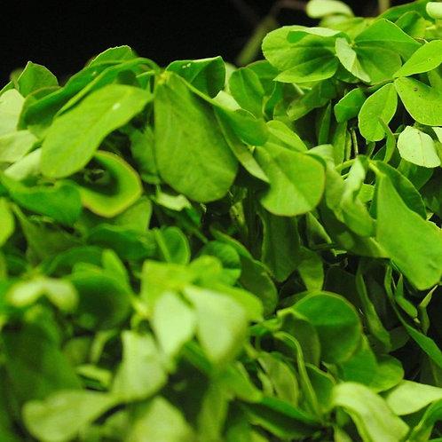 Fenugreek (Trigonella Foenum-Graecum) (12kg per acre)