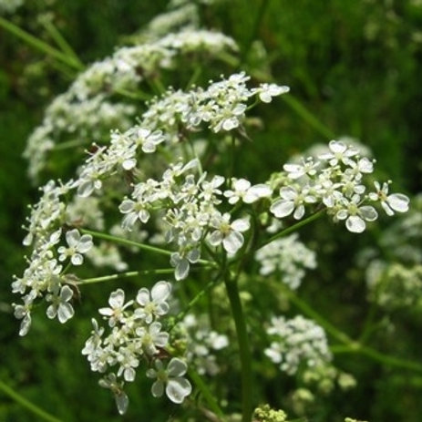 Sheeps Parsley Herb Seed (Petroselinum Sativum) (per kg)