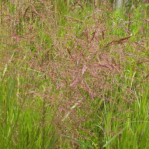 Creeping Bent Grass Seed (Agrostis Stolonifera)