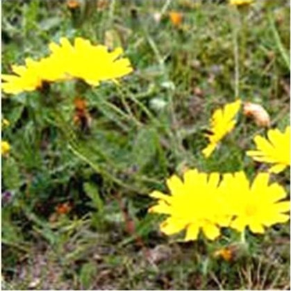 Rough Hawkbit Wildflower Seed (Leontodon Hispidus)