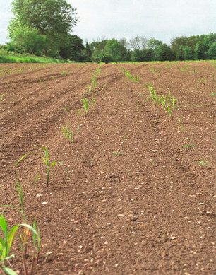 MISCANTHUS AFTER 1 MONTH.jpg
