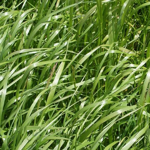 Festulolium Grass Seed (Hybrid) (Acre Pack)