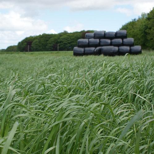 Organic Hybrid Ryegrass Grass Seed (Lolium x Boucheanum) (Acre Pack)
