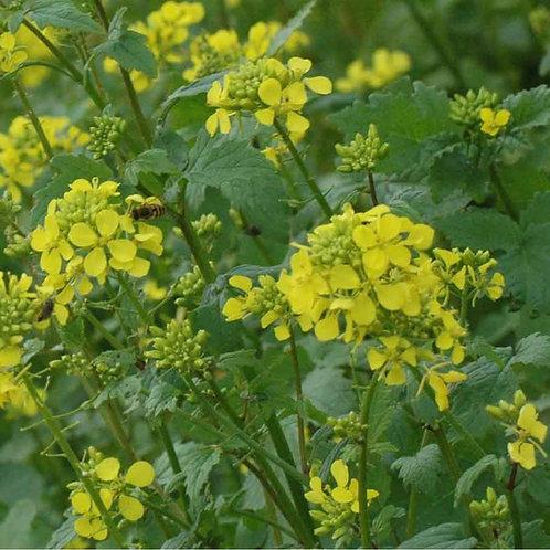 Organic Yellow / White Mustard Seed (5kg per acre)