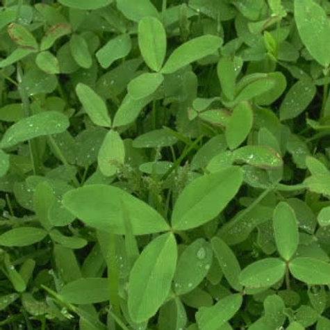 Berseem Clover / Egyptian Clover Seed (5kg per acre)