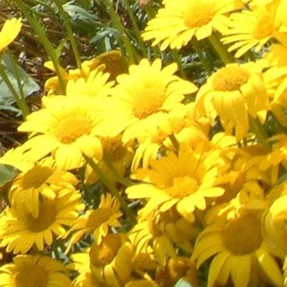 Corn Marigold Wildflower Seed (Chrysanthemum Segetum)