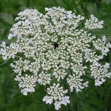 Wild Carrot Wildflower Seed (Daucus Carota)