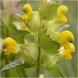 Yellow rattle wildflower seed rhinanthus minor mightylinksfo
