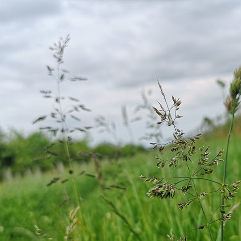 Rough Stalked Meadow Grass Seed (Poa Trivialis)