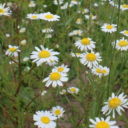 Corn Chamomile Wildflower Seed (Anthemis Arvensis)