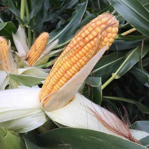 Cathy Forage Maize Seed (45,000 Seeds) (7 Maturity)