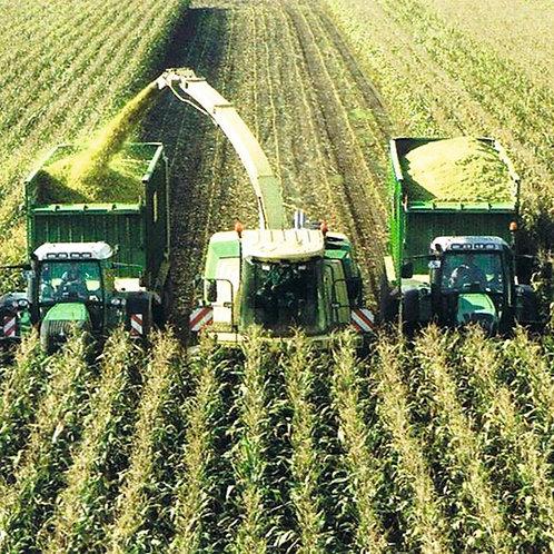 Joy Forage Maize Seed (50,000 Seeds) (12/13 Maturity)