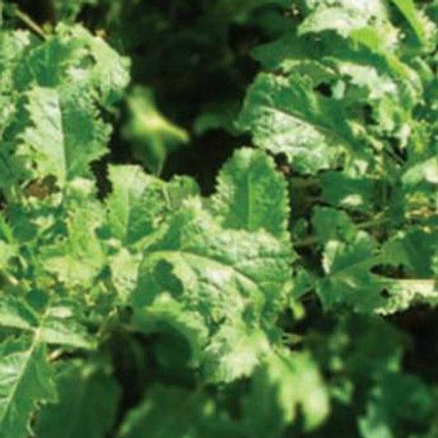 Terminator, Brown Mustard Seed (2kg per acre) (EFA) (OP1)