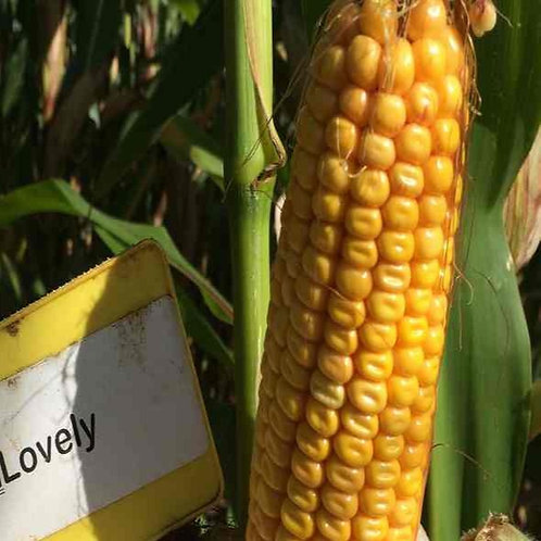 ES Lovely Forage Maize Seed (45,000 Seeds) (9 Maturity)