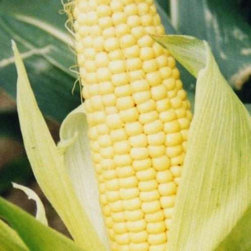 AD Plant - Energy Maize Seed (Unit Packs)