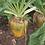 Thumbnail: Bangor Fodder Beet Seed (Acre Pack) (17.5% DM)