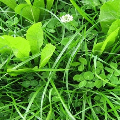 HM.30 Pastoral Chicory Seed Mix (Acre Pack)