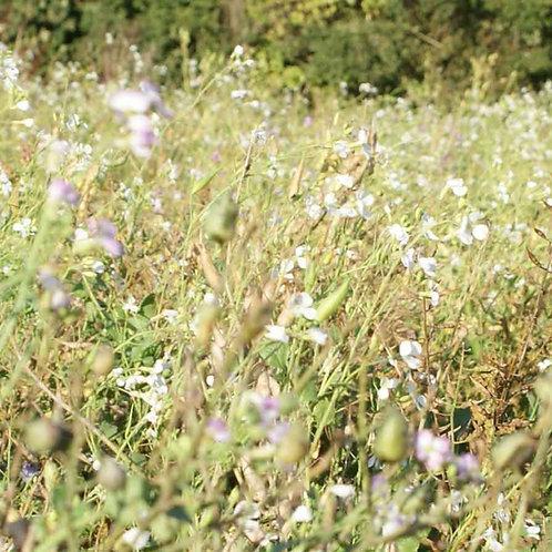 Fodder Radish / Oil Radish Seed (3kg per acre) (OP1)