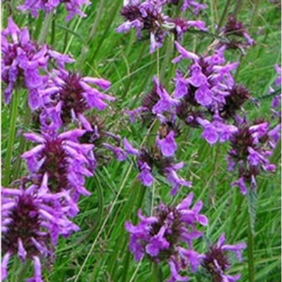 Betony Wildflower Seed (Stachys Officinalis)
