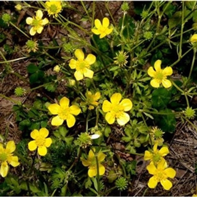 Bulbous Buttercup Wildflower Seed (Ranunculus Bulbosus)