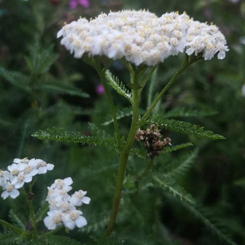 Yarrow Herb Seed (Achillea Millefolium) (per kg)