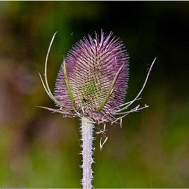 Teasel Wildflower Seed (Dipsacus Fullonum)