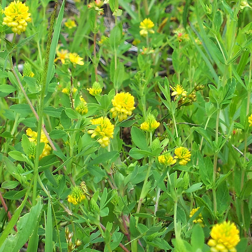 Common Trefoil / Yellow Trefoil / Black Medick Seed (5kg per acre)