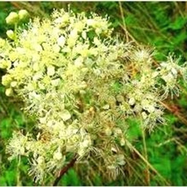 Meadowsweet Wildflower Seed (Filipendula Ulmaria)