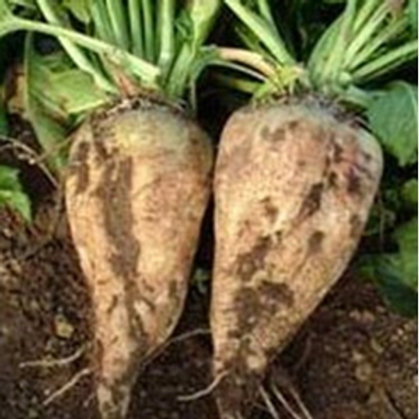 Blizzard Fodder Beet Seed (Acre Pack) (22.7% DM)