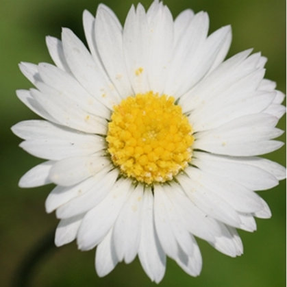 Common Daisy Wildflower Seed (Bellis Perennis)