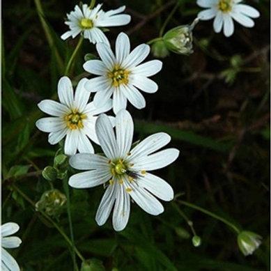 Lesser Stitchwort Wildflower Seed (Stellaria Graminea)