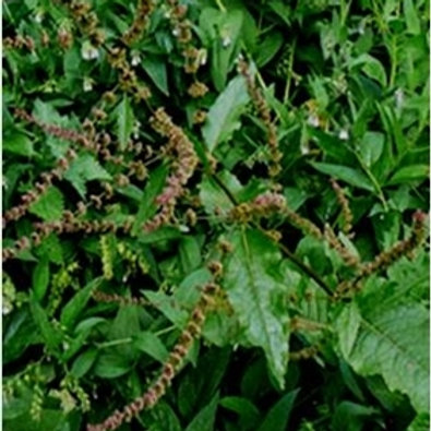 Dock Wildflower Seed (Rumex Obtusifolius)