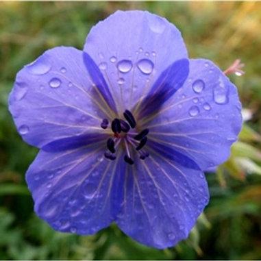 Meadow Cranesbill Wildflower Seed (Geranium Pratense)