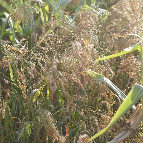 White Millet Seed (5kg per acre)