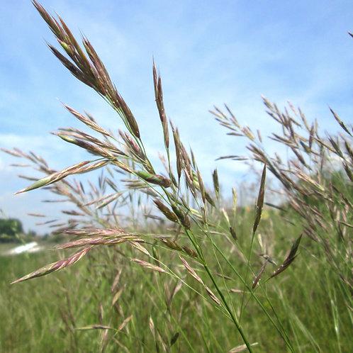 Upright Brome Grass Seed (Bromus Erectus)