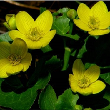 Marsh Marigold Wildflower Seed (Caltha Palustris)