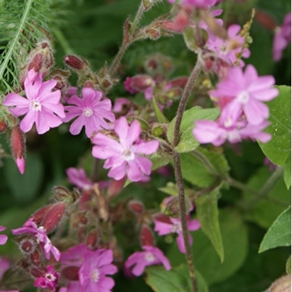 Red Campion Wildflower Seed (Silene Dioica)