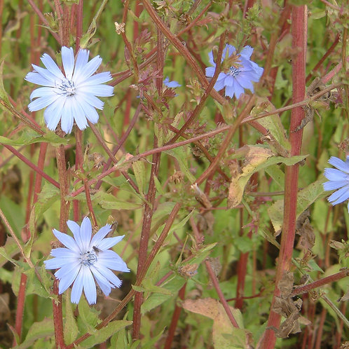 Choice Chicory Seed (Cichorium Intybus) (2kg per acre)