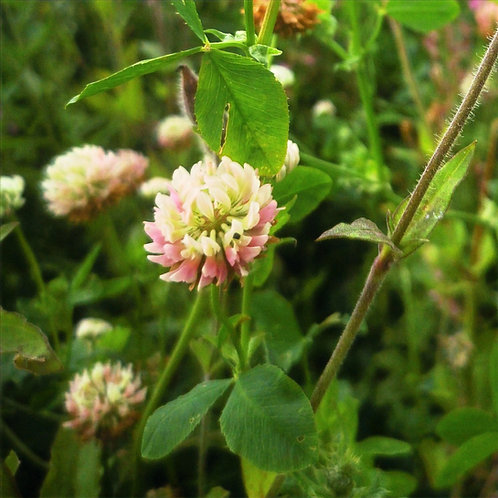 Alsike Clover Seed (3kg per acre)