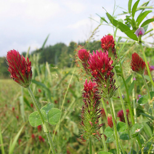Organic Forage Express Grass Seed Mix (Acre Pack)