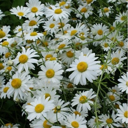 Oxeye Daisy Wildflower Seed (Leucanthemum Vulgare)