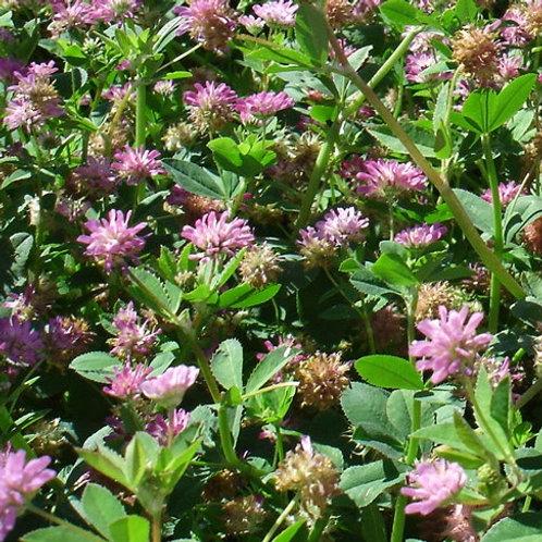 Persian Clover Seed (Trifolium Resupinatum) (4kg per acre)
