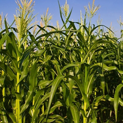 ES Picker Forage Maize Seed (45,000 Seeds) (10 Maturity)
