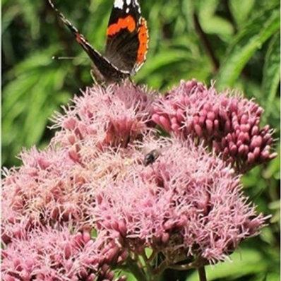 Hemp Agrimony Wildflower Seed (Eupatoria Cannabinum)