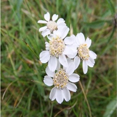 Sneezewort Wildflower Seed (Achillea Ptarmica)