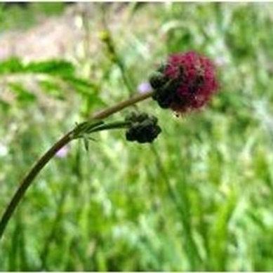 Salad Burnet Wildflower Seed (Sanguisorba Minor)