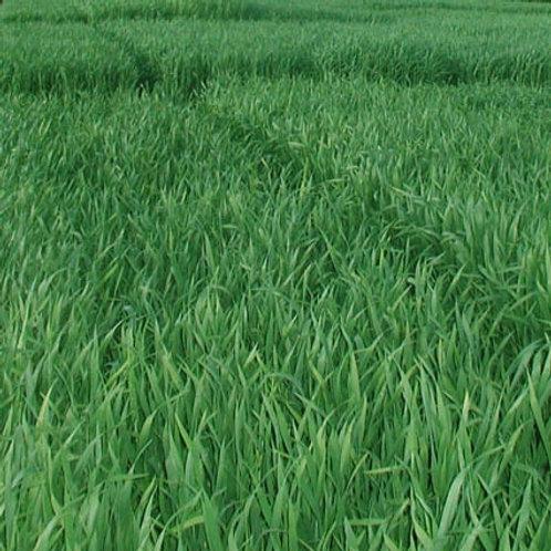 Winter Forage Rye Seed (50kg per acre) (EFA)