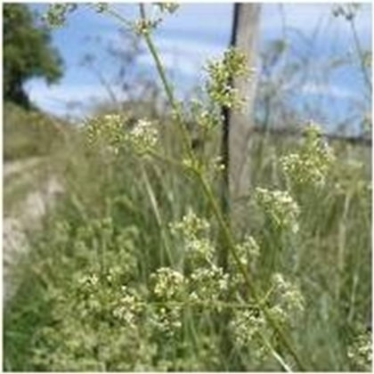 Hedge Bedstraw Wildflower Seed (Torilis Japonica)