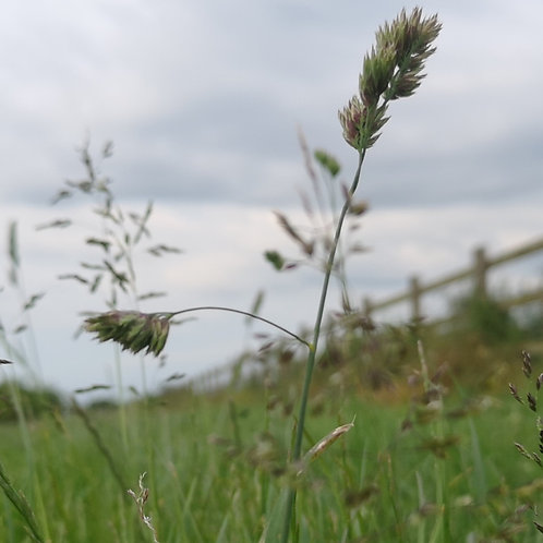Organic Buffer Strip / Field Margin Grass Seed Mix (8kg per acre)